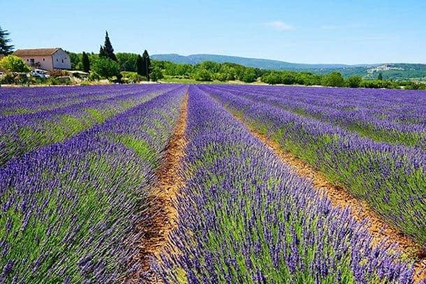Lavender Luberon France