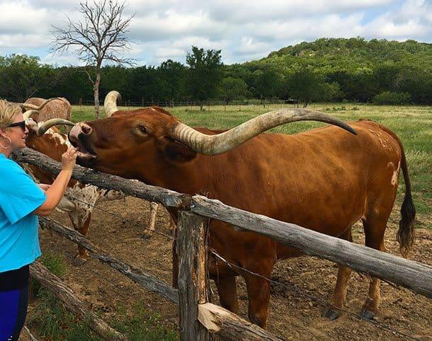 Feeding the long horns