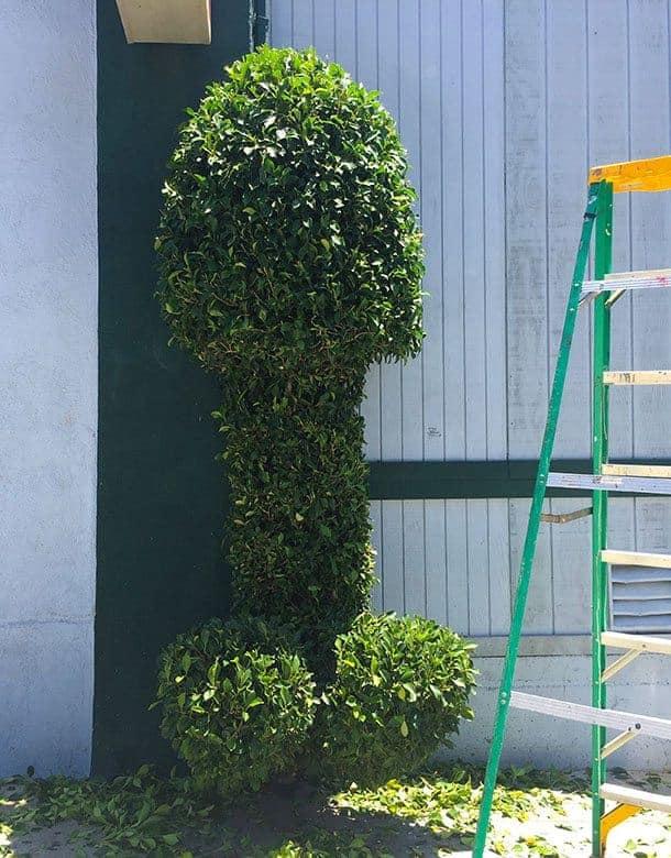 penis shaped hedge