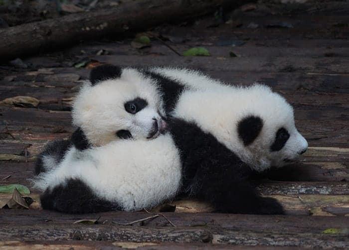 Pandas in Chengdu