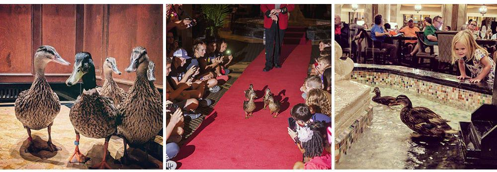 Peabody ducks marching though hotel