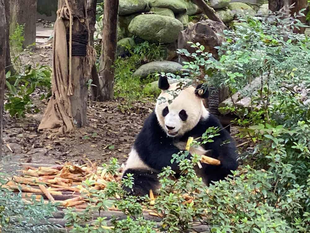 Panda eating bamboo, Chengdu