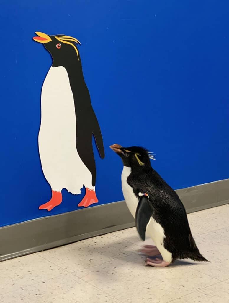 Penguin at Shedd Aquarium