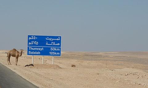 Camel in Oman