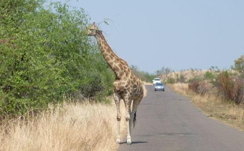 Giraffe, Pilanesberg