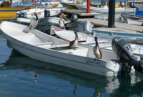 Pelicans at Cabo
